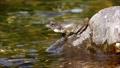 渓流の石の上で鳴嚢を膨らませて鳴くカジカガエル 62484726
