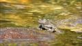 渓流の石の上で鳴嚢を膨らませて鳴くカジカガエル 62484727