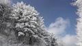 Winter trees in Hambaeksan with snow 62599620