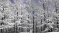 Winter trees in Hambaeksan with snow 62599622