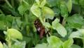 葉の上を徘徊するエンマコオロギ 62674874