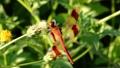 コセンダングサの種子に留るミヤマアカネ 62674877