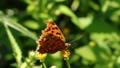 コセンダングサの花から吸蜜するキタテハ 62674879