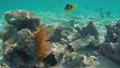 Clownfishes in anemones 62823316
