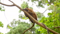 FullHD video of cute wild monkey sitting on the tree branch at tropical rainforest 62896138