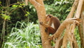 Slow motion FullHD video of wild monkey sitting on the tree branch at tropical rainforest on Sri Lanka 62902455