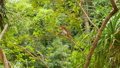 FullHD video of macaque monkey sitting on the tree branch and eating in tropical rainforest 62902458