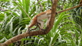 FullHD video of wild monkey climbing up on the tree in tropical jungle forest 62902991