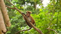FullHD video of wild monkey climbing on the tree and eating fruits in jungle rainforest 62903167