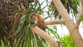 FullHD footage of wild monkey climbing on the tree and searching for nuts and fruits in tropical jungle 62903678
