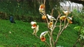 Group of Pied Imperial Pigeons are feeding food. 63094999