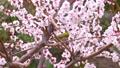 メジロと梅の花、日本の春の風景 63122192