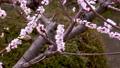 メジロと梅の花、日本の春の風景 63122193