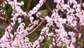 メジロと梅の花、日本の春の風景 63122195