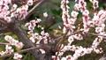 メジロと梅の花、日本の春の風景 63122196