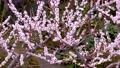 メジロと梅の花、日本の春の風景 63122197