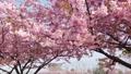 河津桜、岡山、児島湾 63122261