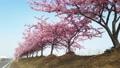 河津桜、岡山、児島湾 63122262
