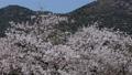 櫻花飄落的雪花 63212089