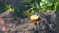 庭でえさを食べるヒヨドリ 63212617