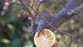 庭でえさを食べるヒヨドリ 63212619