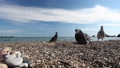 Pigeons pecks seeds on a pebble beach by the sea, feeding birds 63227430