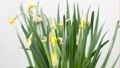 Time-lapse of opening yellow narcissus flowers 63319685