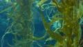 Light rays filter through a Giant Kelp forest. Macrocystis pyrifera. Diving, Aquarium and Marine 63365594