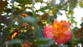 English roses garden. Rosarium Floral background. Tender flowers Blooming, honey bee collects pollen 63365598