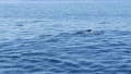 View from the boat, Common Dolphins pod in open water during Whale watching tour, Southern 63407669