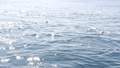 View from the boat, Common Dolphins pod in open water during Whale watching tour, Southern 63409239