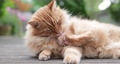 Close up of a ginger cat grooming himself. 63475577