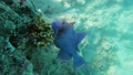 Blue Triggerfish on coral reef in Red Sea 63493254