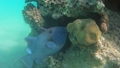 Blue Triggerfish on coral reef in Red Sea 63493258