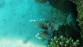 Lionfish on a tropical coral reef in Red sea 63493260