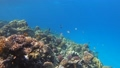 Many fish swim among corals in the Red Sea, Egypt 63493262