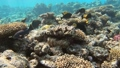 Many fish swim among corals in the Red Sea, Egypt 63493263