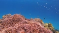Many fish swim among red corals in the Red Sea 63493265