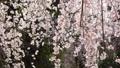 日本の春 枝垂れ桜 63549081