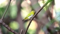 Bird (Swinhoe White-eye) in the nature wild 63564384