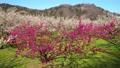 満開に咲く梅の花(ろうかく梅園) 63575452