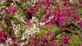 満開に咲く梅の花(ろうかく梅園) 63575605