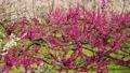 満開に咲く梅の花(ろうかく梅園) 63575606