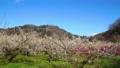 満開に咲く梅の花(ろうかく梅園) 63575607