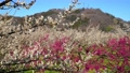 満開に咲く梅の花(ろうかく梅園) 63575608