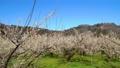 満開に咲く梅の花(ろうかく梅園) 63575609
