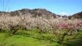 満開に咲く梅の花(ろうかく梅園) 63575610