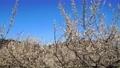 満開に咲く梅の花(ろうかく梅園) 63575611