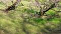 満開に咲く梅の花(ろうかく梅園) 63575663