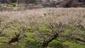満開に咲く梅の花(ろうかく梅園) 63575665